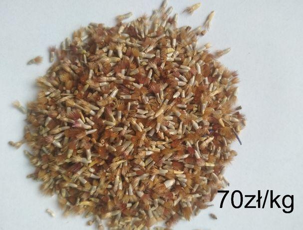 Chaber bławatek roślina miododajna nasiona Odsort