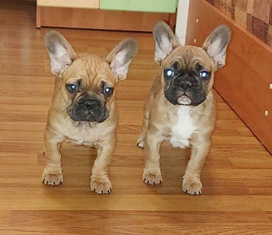 Роскошные два парня щенки французского бульдога!