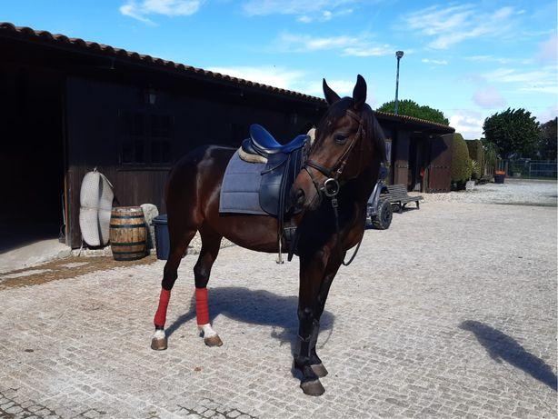 Égua trotadora francesa