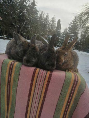 Młode króliki na sprzedaż!!!