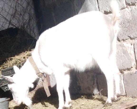 Зааненская коза, котная