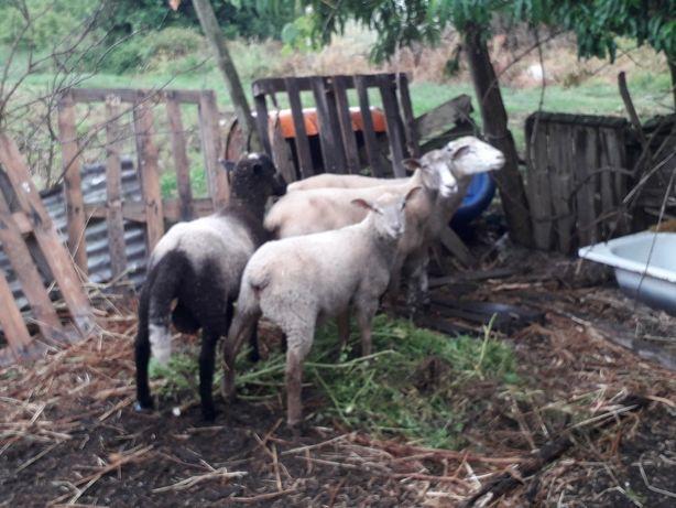 Vendo quatro ovelhas