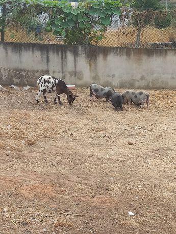 Vendo  3 porcos anões