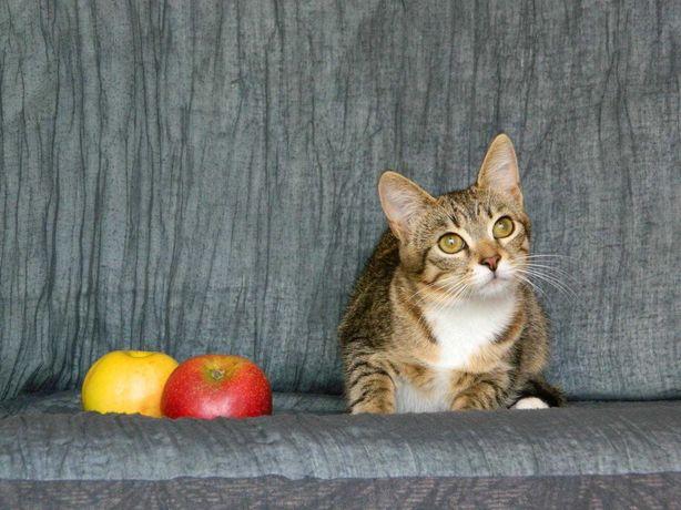 Котята. Отдам кошку мини до 1 года, стерилизована ,вакцинирована