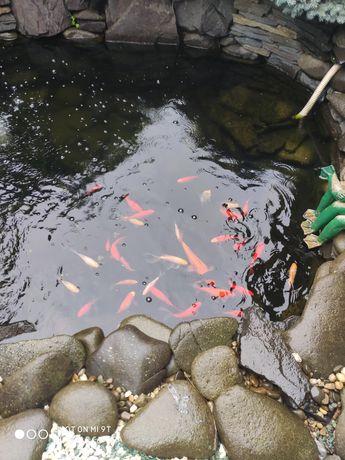Рыбки для пруда Японский карп