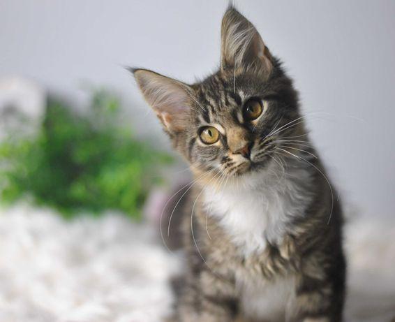 Carmen -rodowodowa koteczka MCO