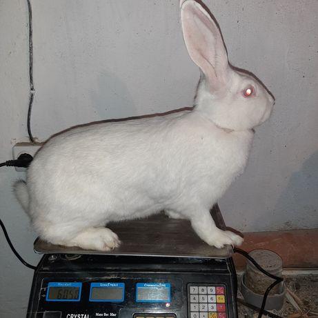 Продам кролі термонці, термони. Термонська біла (Термонд)