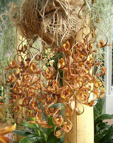 Орхидея gongora galeata
