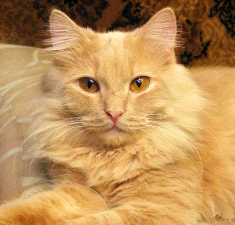 Шикарный пушистый персиковый кот СИМБА, кастрирован, привит