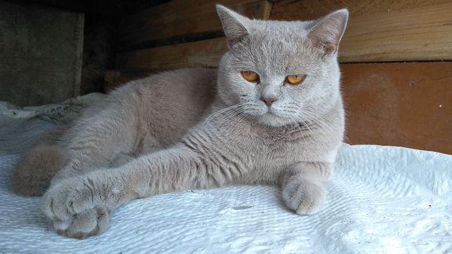Гарний шотландський прямовухий котик шукає подружку