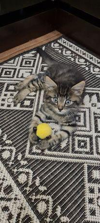 Котёнок пушистый от вислоухой кошки