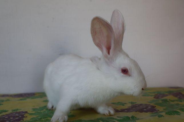 Панон білий кроленята