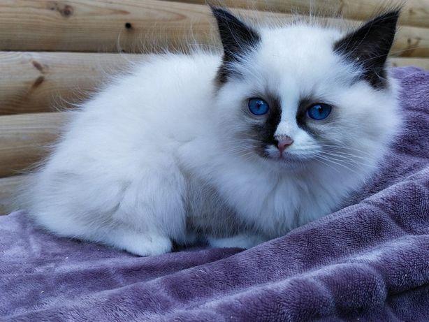 Kotki kot Ragdoll cudowne dziewczynki