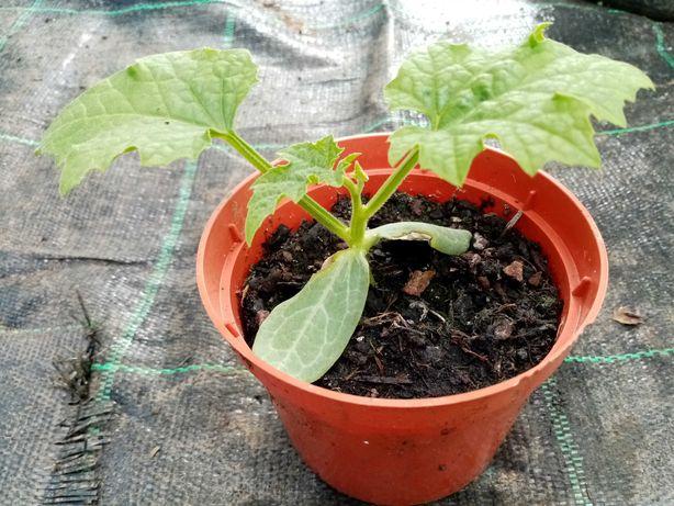 Planta Luffa - esponja natural