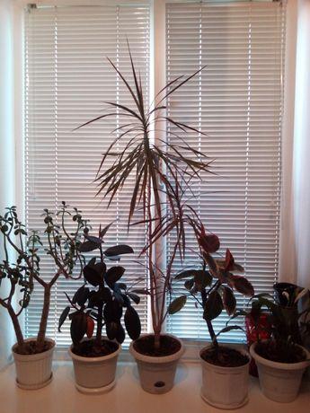 Цветок Пальма Драцена