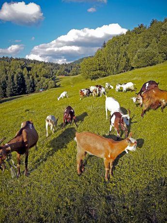 Kozie mleko i sery