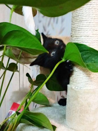 Ищу друга, готов переехать на ПМЖ. Котенок,возраст 2 мес.
