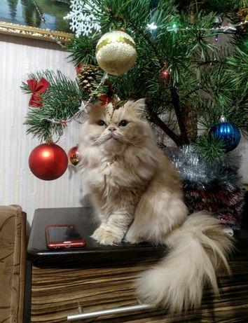 Кішка шукає кота перської породи (в'язка)