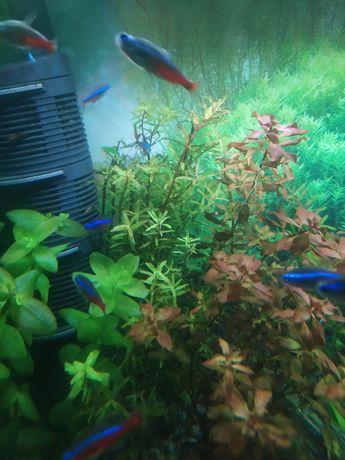 Rotara roślina akwariowa z przycinki