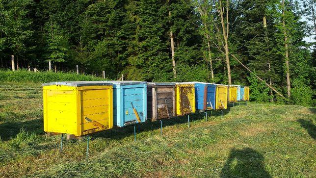 Ule z pszczołami ramka Dadant