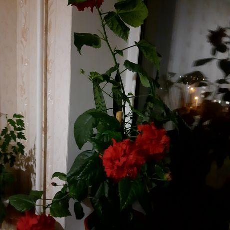 Роза китайська - вазон