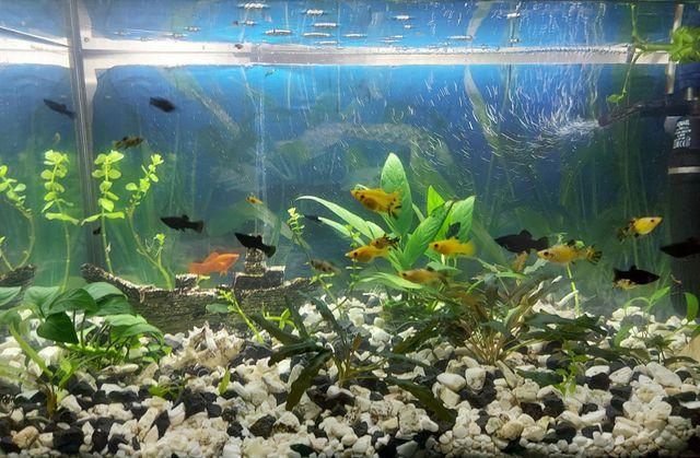Rybka akwariowa Molinezja