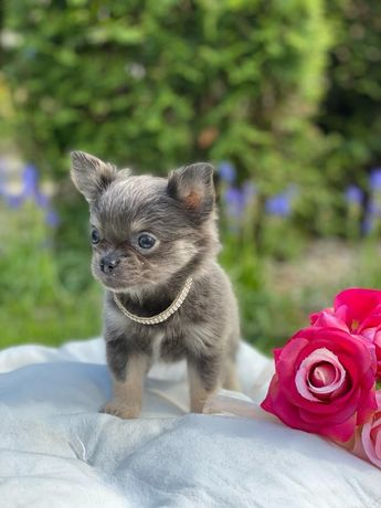 Chihuahua suczka liliowa niebieska mini