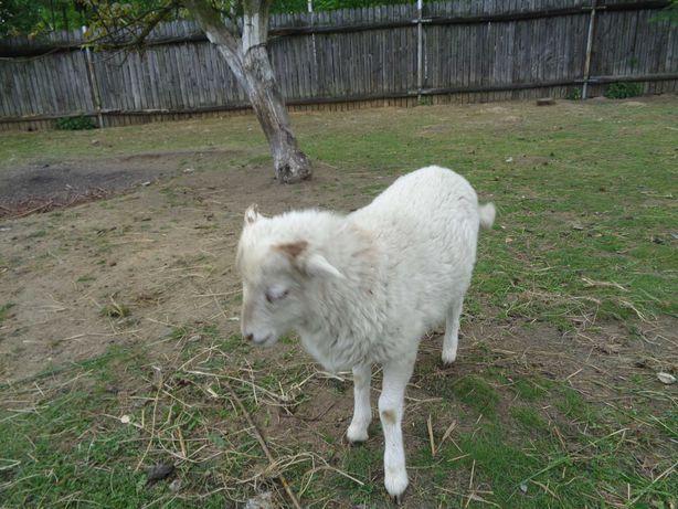 Baran / owca miniaturka quessant
