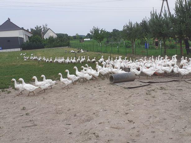 Drób,Gęsi, kaczki, indyki, gęś, kaczka, indyk