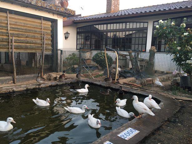 Patos Mandarins e Carolinos