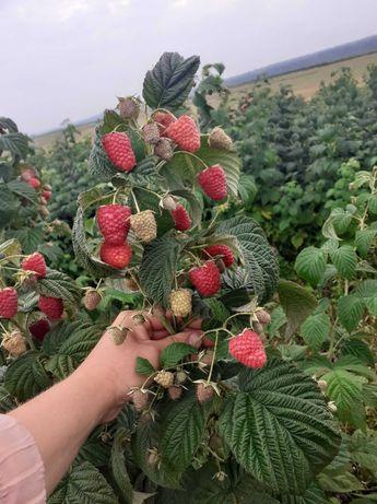 Sadzonki maliny GIGANT, przepyszne owoce, łatwa w uprawie, WYSYŁKA