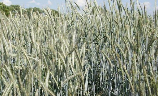 żyto Bojko jare nie owies jęczmień pszenżyto pszenica
