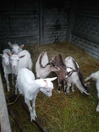 Mleko kozie i serki