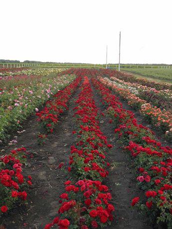 Агробізнес, вирощування та продаж саджанців троянд продам.