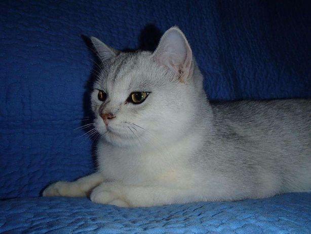 Вязка кот скотиш-страйт