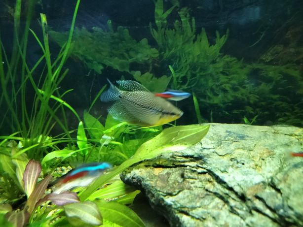 Akwarium 112l z dorosłymi  rybkami