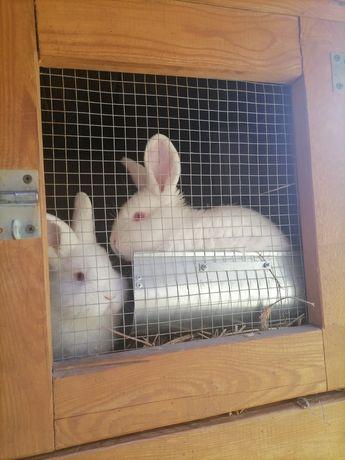 Młode króliki NB