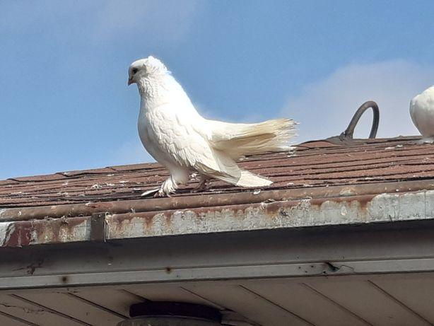 Omski kaczun syberyjski samiec ptaki gołębie ozdobne