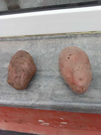 Крупная картошка