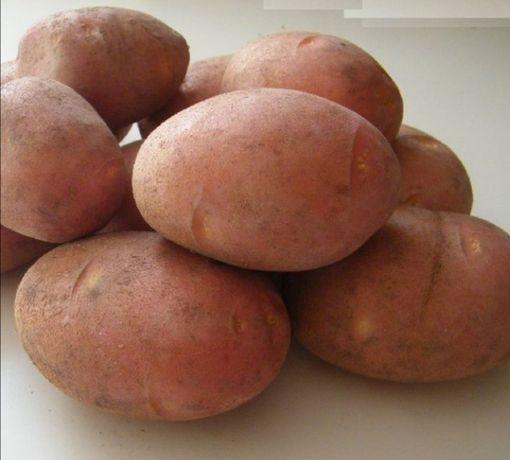 Kartofle belarossa czerwone ziemniaki