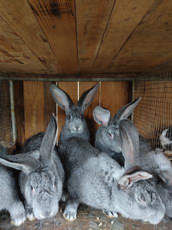 Продам кроликів. Молодняк і тушки.
