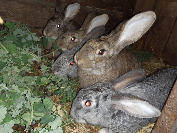 Кролі /Кролики/