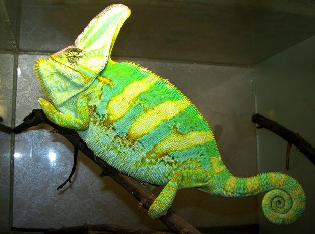 Йеменские хамелеоны, Chamaeleo calyptratus.