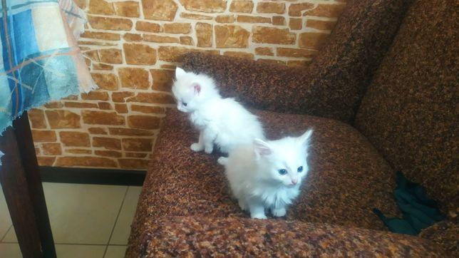 Милые, красивые и пушистые котята ищу добрую семью