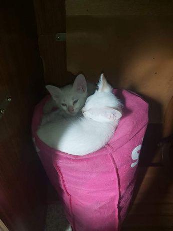 Dou 2 gatinhas brancas