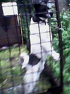Пропала собака порода лайка кобель