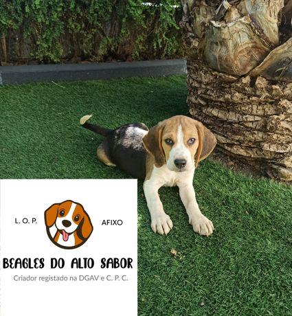 Beagle LOP e Afixo
