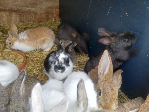 Młode, piękne króliki mięsne.