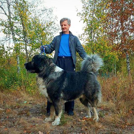 Кавказская овчарка.Вязка