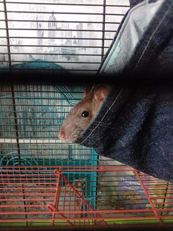 Крыска с клеткой